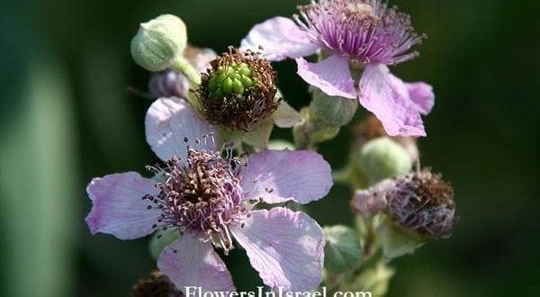 Rubus_sanguineus_flowers|Thorn.Bush|Thorn.Bush.Snipped|Raspberry